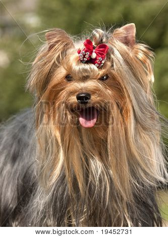 yorkie, Yorkshire Terrier sitting on the grass