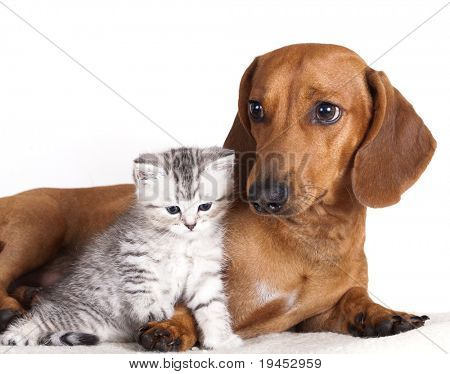 dachshund dog and kitten