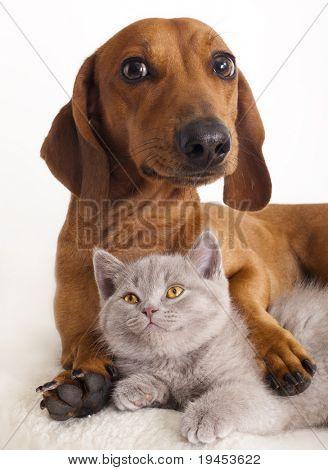 Británico gato y perro dachshund
