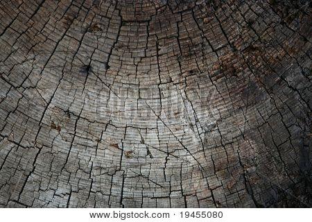 Old pine tree texture