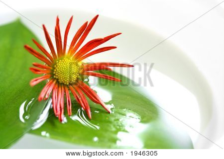 Single Chrysanthemum And Leaf Spa