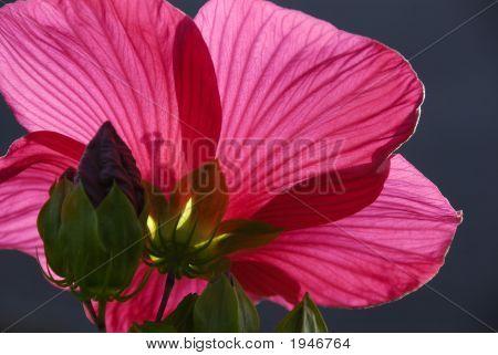Hibiscus On A Dark Background
