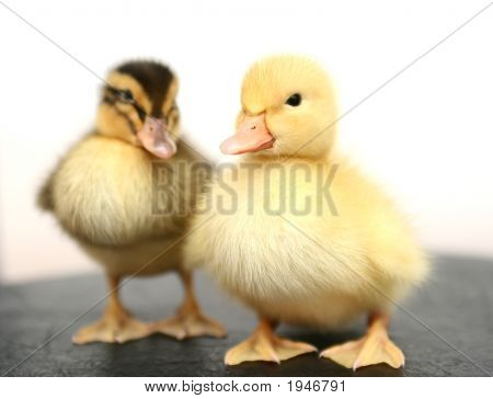 Two Small Ducks Together On A White Background
