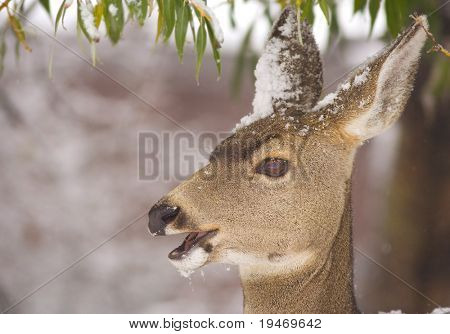 Mule deer doe feeding in winter with snow on its head
