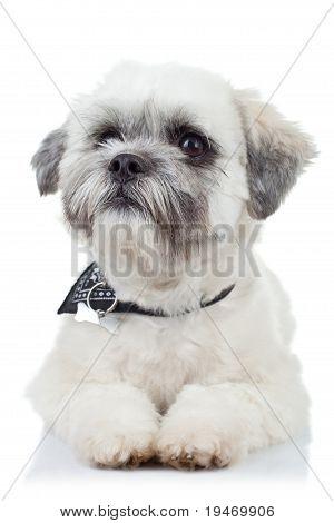 Bichon Havanese Puppy Sitting