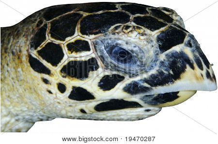 Head of a sea turtle isolated on white background