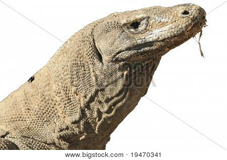Komodo dragon isolated on white background
