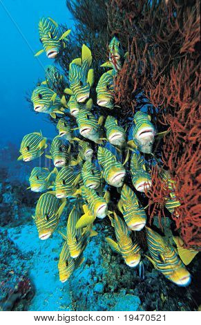 A school of colorful ribbon sweetlips