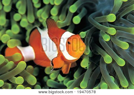 A clown anemonefish in colorful anemone