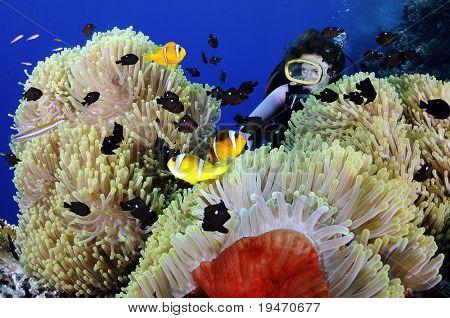Diver enjoying anemonefishes