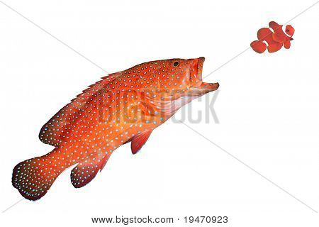 Big red fish eats small fish isolated on white background