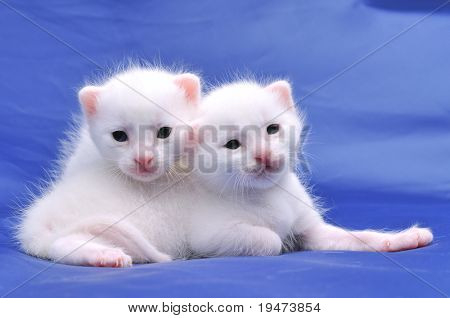 Two cute white kittens on blue background.