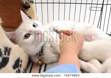 Veterinarian examining cute white cat with stethoscope, isolated on white
