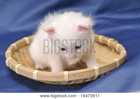 Portrait of a beautiful white kitten.
