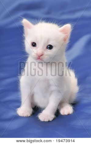Portrait of a beautiful white kitten.