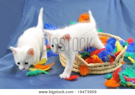 Two cute white kittens playing.