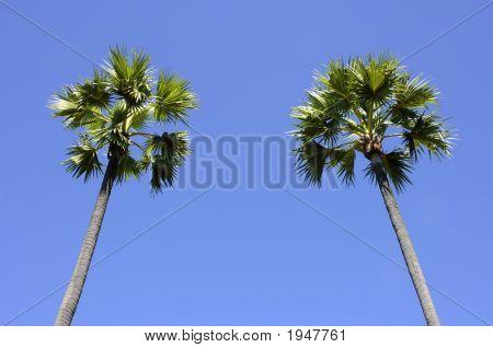 Two Palmtrees