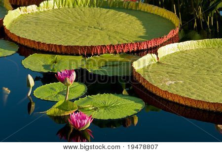 Water lily and water platter