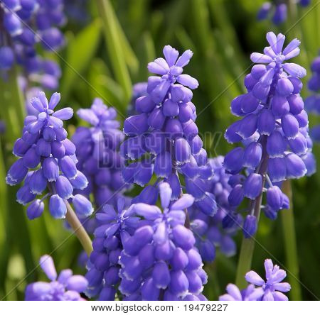 Bluebells (Grape Hyacinth, Muscari armeniacum)