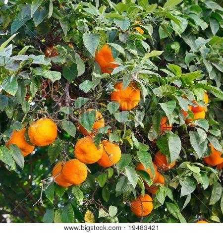 Oranges on orange tree