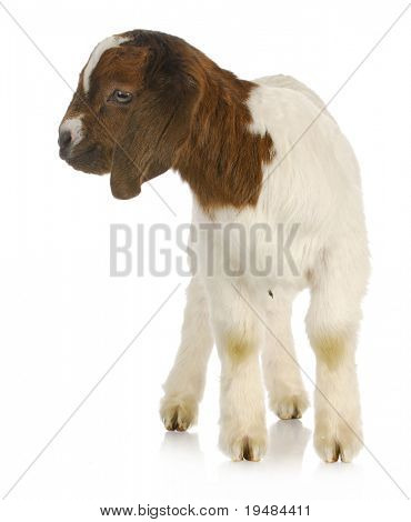 baby goat - purebred south african boer kid standing - one week old