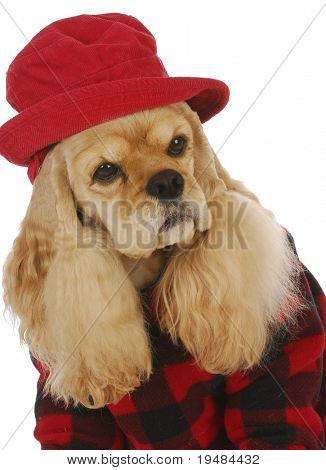 adorable cocker spaniel wearing red hat and coat on white background