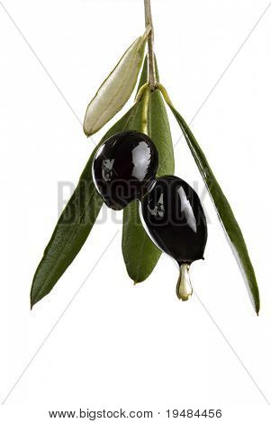drop of oil from two black olives on branch isolated