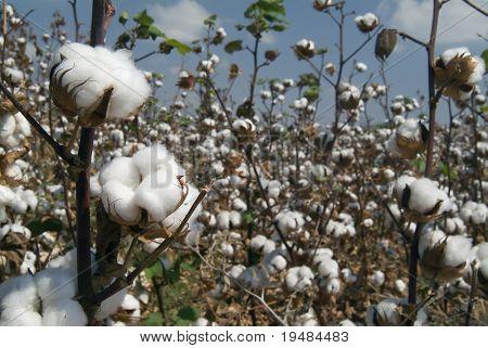 Primer plano de las cápsulas maduras de algodón en rama