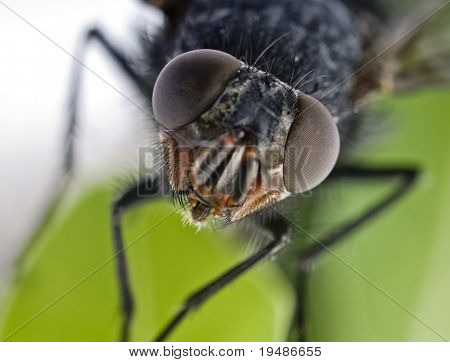 extreme close-up of a fly head
