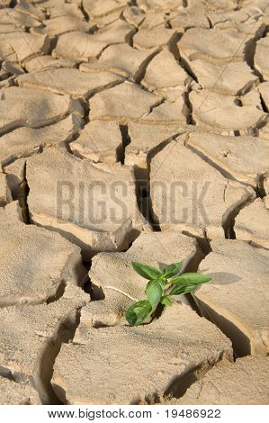 small Basil plant in a pile of soil on a cracked soil surface