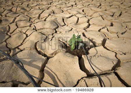 riego por goteo Riego una planta pequeña de albahaca en un suelo agrietado en el desierto