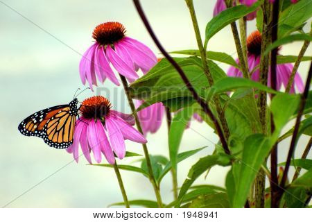 Monarch In The Garden
