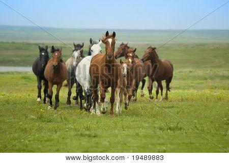 Horse Running / herd in  steppe