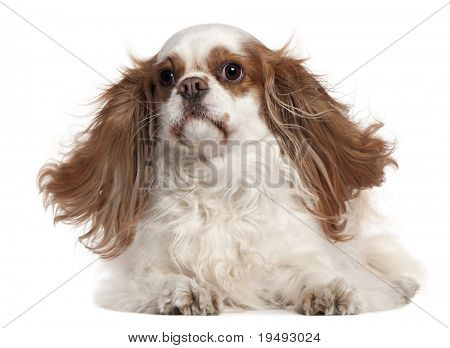 Cavalier King Charles Spaniel, 4 years old, lying in front of white background