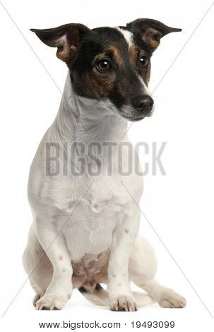 Jack Russell Terrier, 1 and a half years old, sitting in front of white background