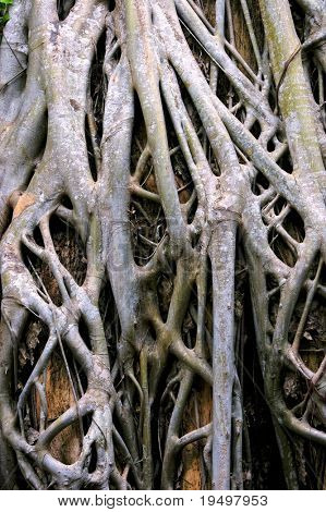 Close-up of parasite tree roots grown over a banyan tree at Ta Prohm temple, Angkor, Cambodia.