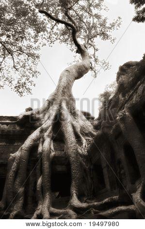 Beautiful banyan tree grown over ruin walls at Ta Prohm temple, Angkor, Cambodia, infrared-monochrome image.