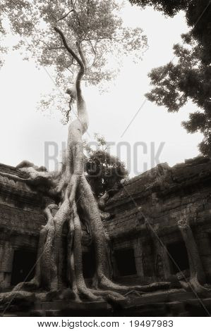 Huge banyan tree grown over ruin walls at Ta Prohm temple, Angkor, Cambodia, infrared-monochrome image.