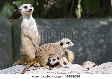 Companionship of banded mongoose on tree trunk
