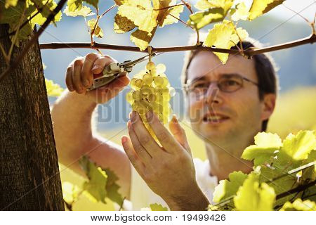 Smiling vintner harvesting a bunch of green grapes in vineyard, focus on grapes.