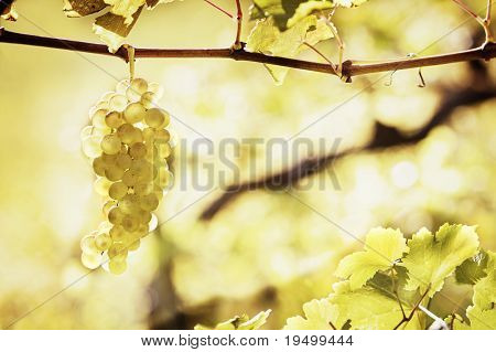 Close up of backlit bunch of green grapes in vineyard hanging from vine ready for harvest with ample of copy-space.