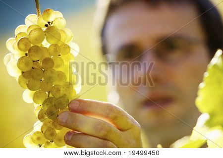 Male winemaker inspecting quality of bunch of green wine grapes in vineyard before harvest, close up on grapes.