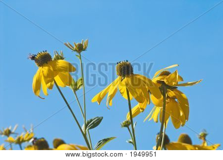 Yellow Chamomiles In Blue Sky