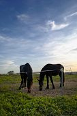 stock photo of black horse  - Two blacks horses grazing at dusk - JPG