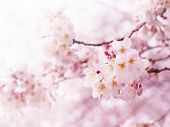 stock photo of cherries  - Cherry blossoms in full bloom - JPG