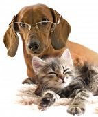 picture of cat dog  - clever dog dachshund in glasses and cat - JPG