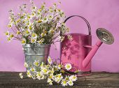 foto of may-flower  - watering can for flowers Camomile - JPG