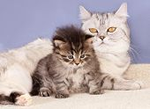 picture of baby cat  - British mother cat and baby  kitten - JPG
