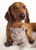 picture of dachshund dog  - British kitten  and dog dachshund - JPG
