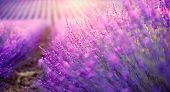 Lavender field in Provence, France. Blooming Violet fragrant lavender flowers. Growing Lavender sway poster